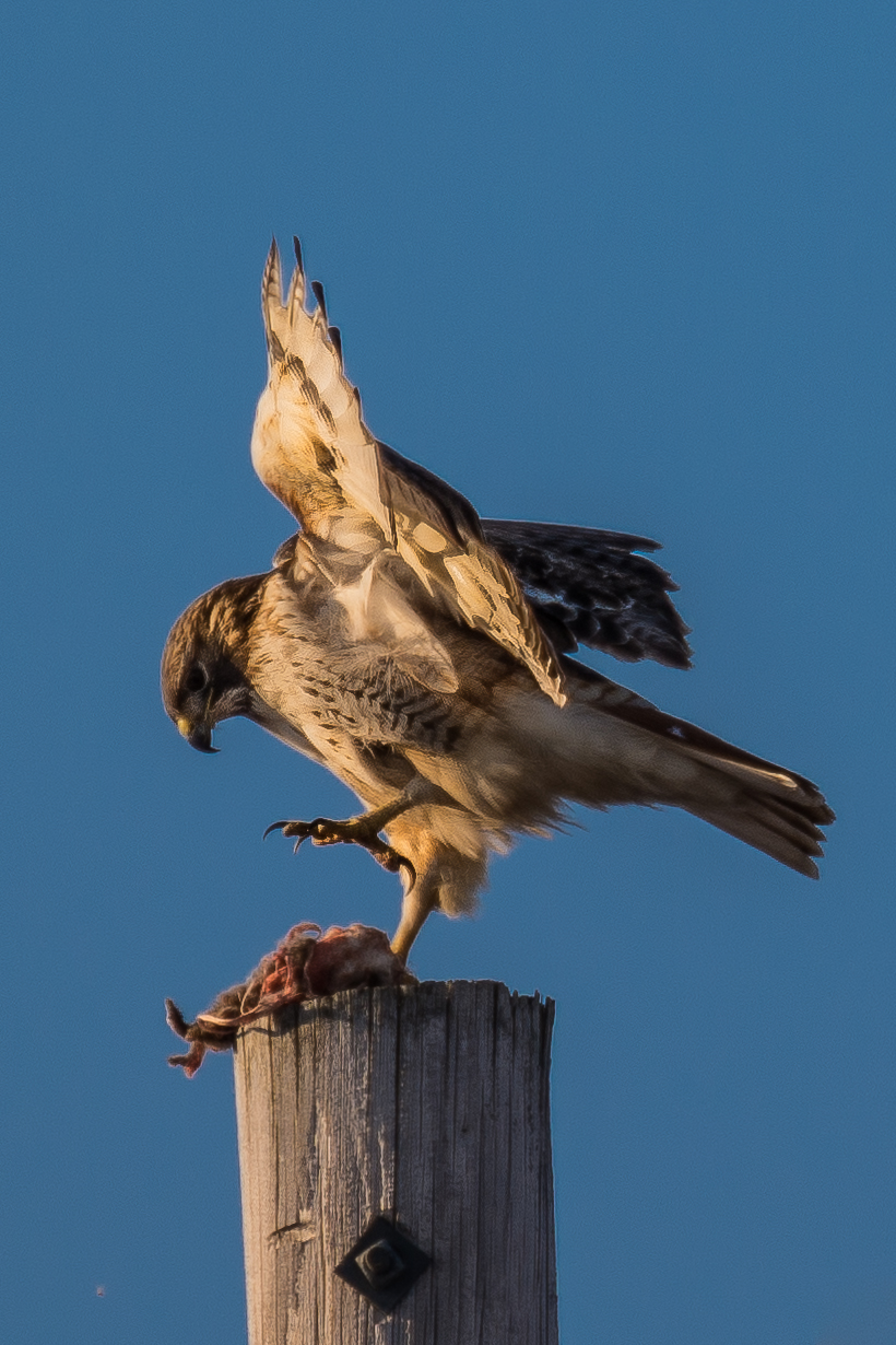 Red Tailed Hawk eating on telephone pole (1 of 2).jpg