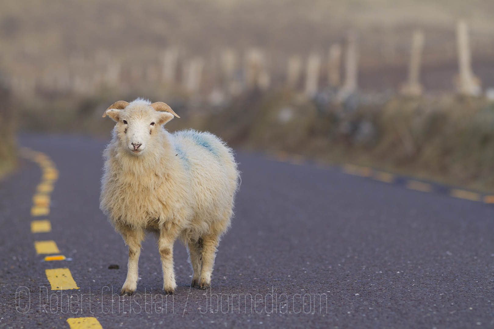 A young ram on the road around Slea Head.