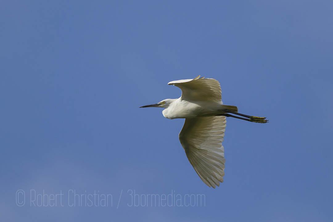 Little Egret flying into the KK Wetland Centre.