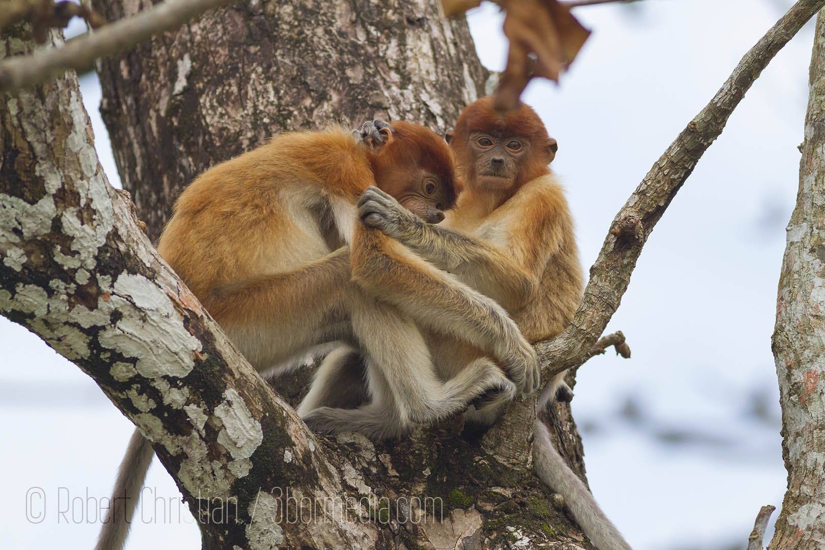 Young Proboscis Monkeys playing around up a tree at Bako National Park.
