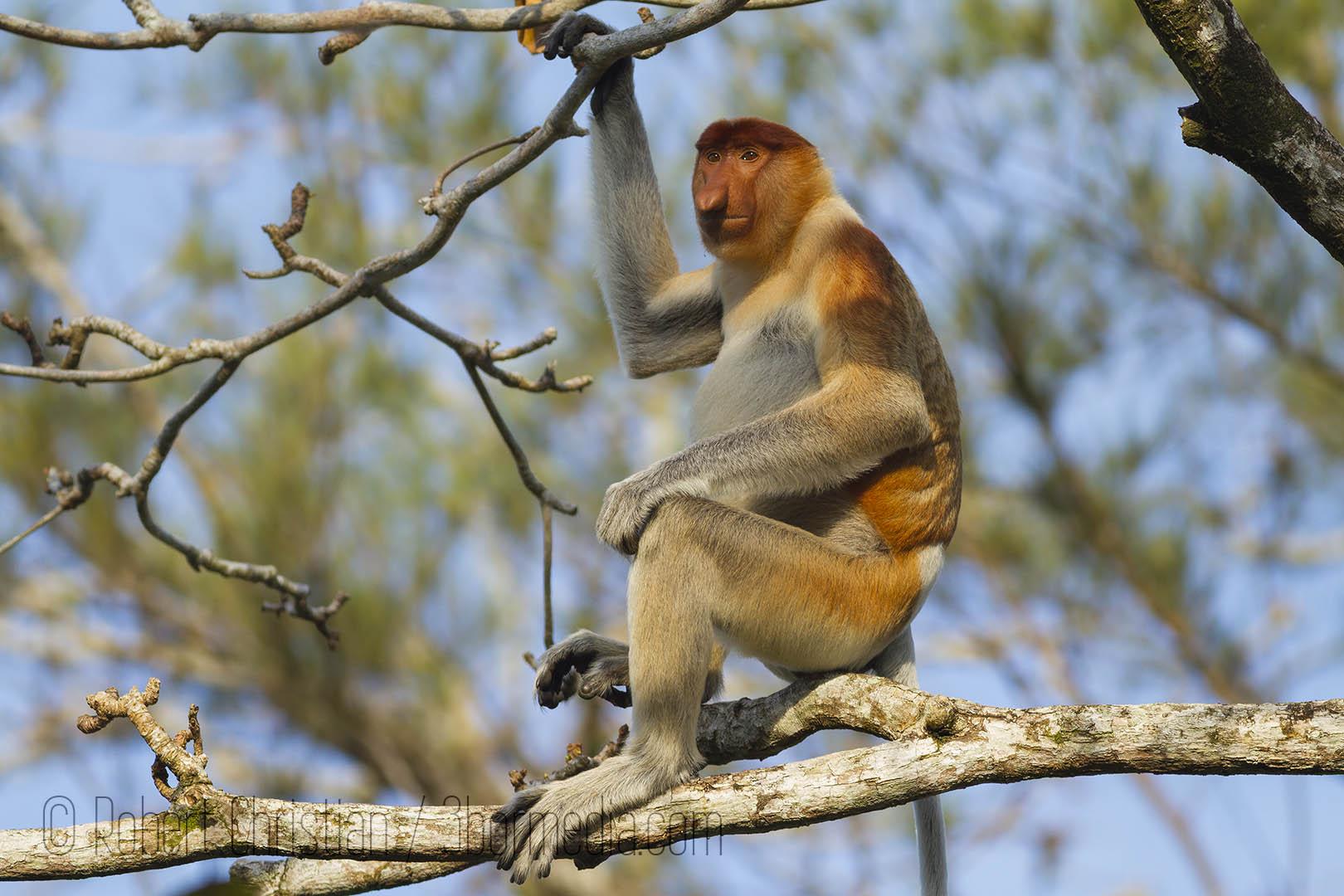 Proboscis Monkey in early morning light in Bako.