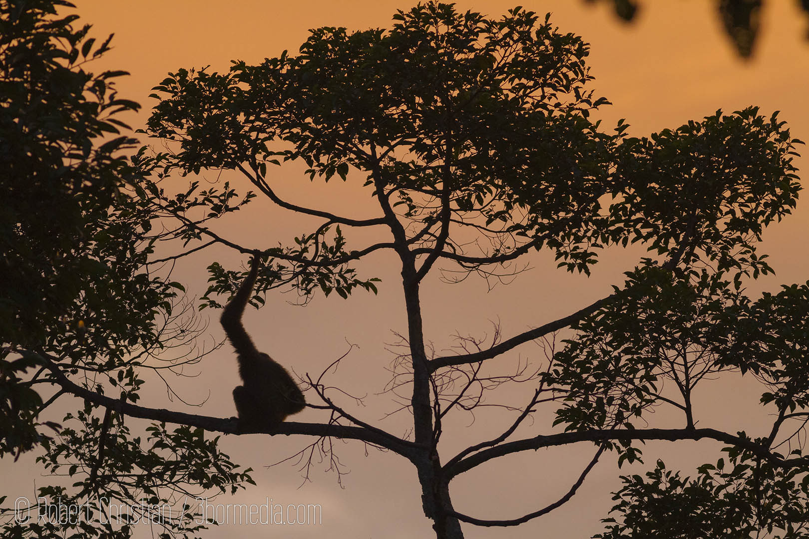 Bornean Gibbon at sunrise.
