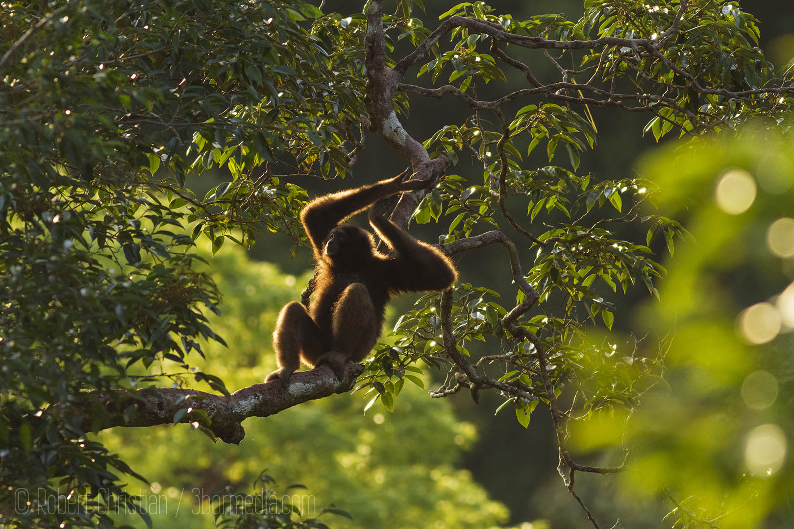 A Bornean Gibbon in the treetops of Ulu Temburong.