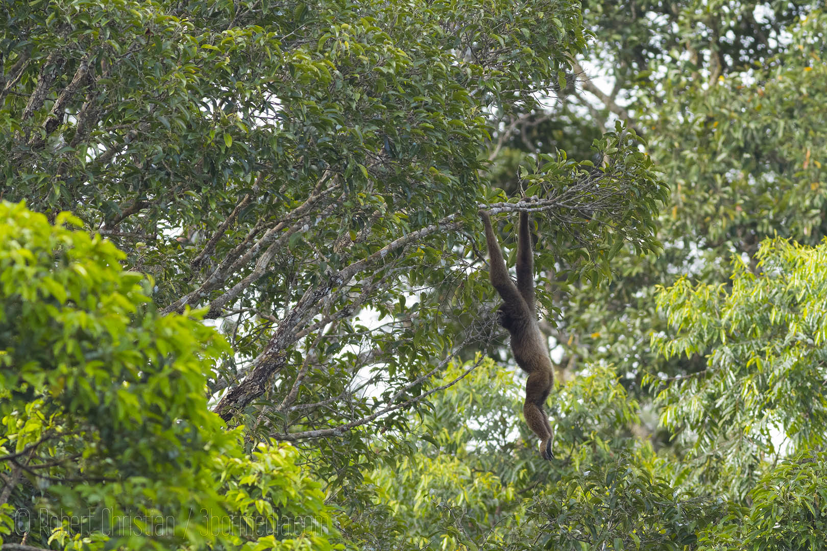 A gibbon hanging around in the canopy of Ulu Temburong.
