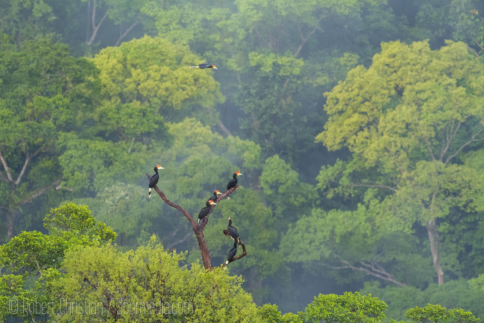 A large group of Rhinoceros Hornbills.
