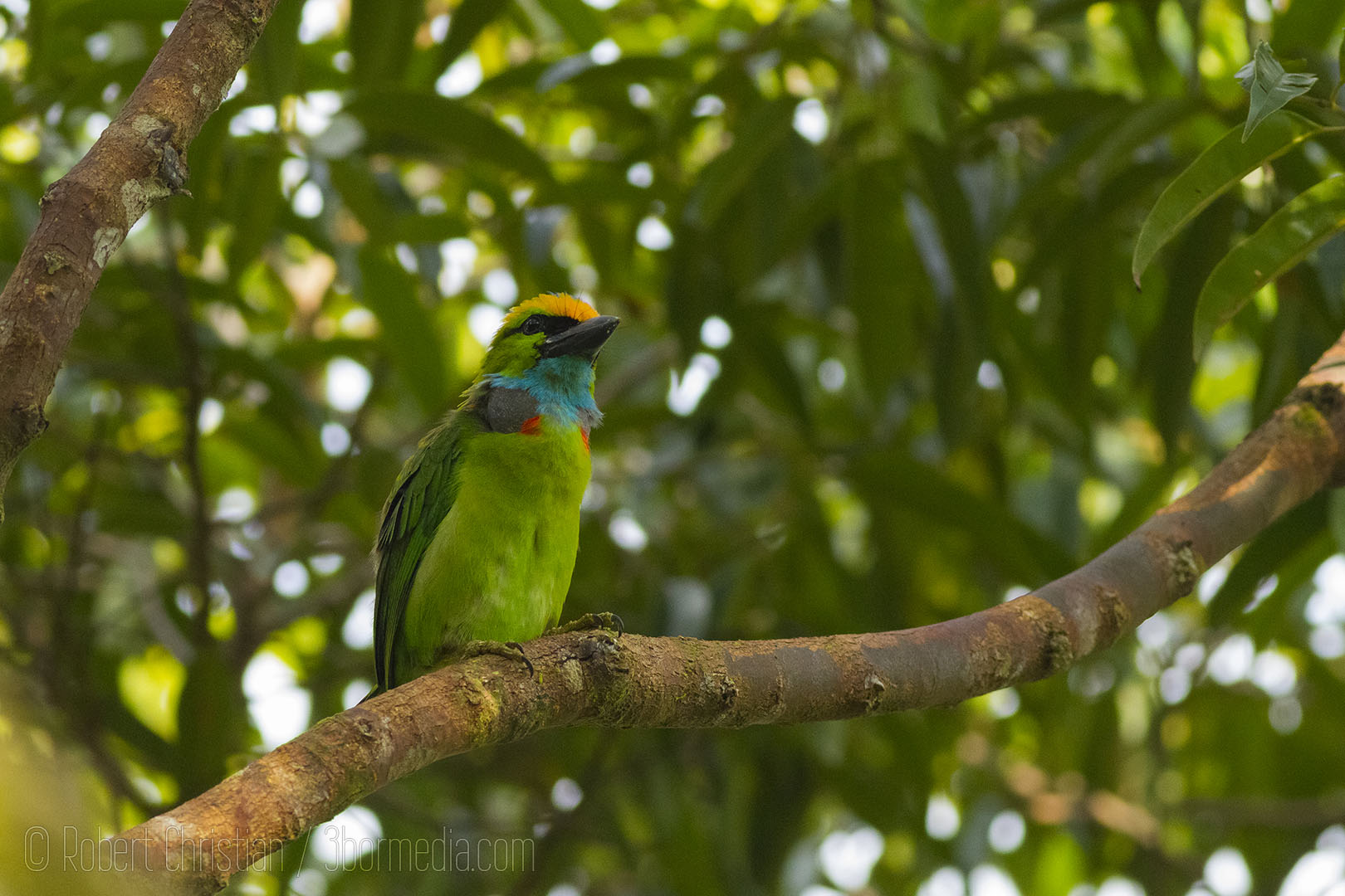 Yellow Crowned Barbet.