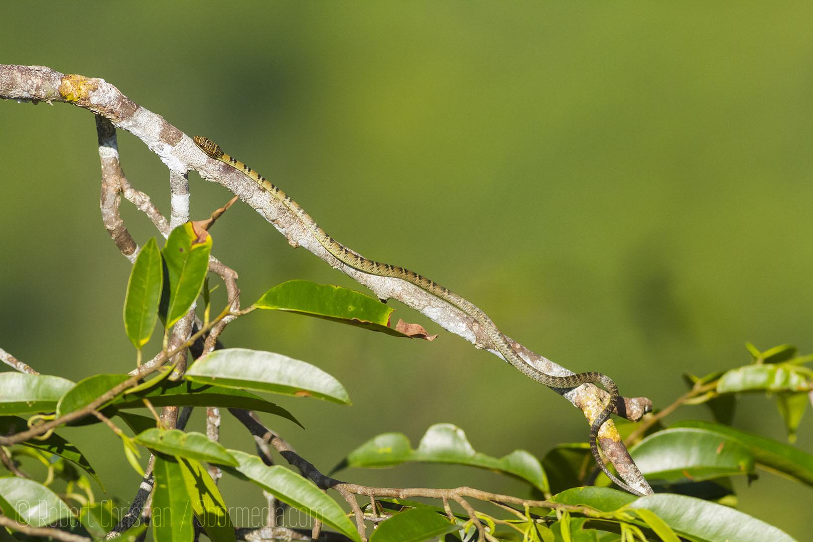 Twin Barred Tree Snake.