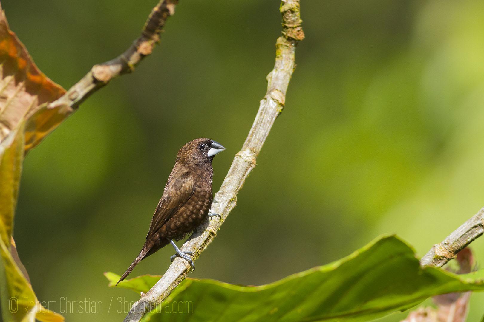 The Dusky Munia an endemic bird of Borneo.