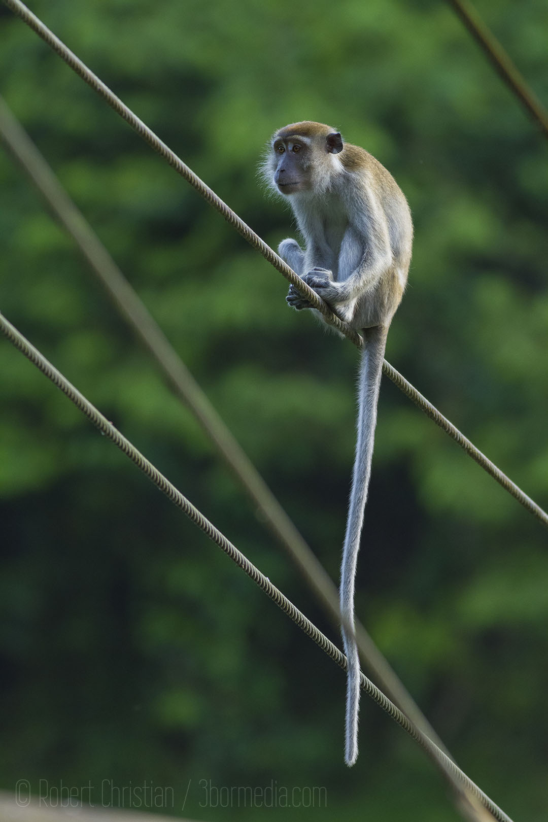Long-Tailed Macaque on the bridge cables