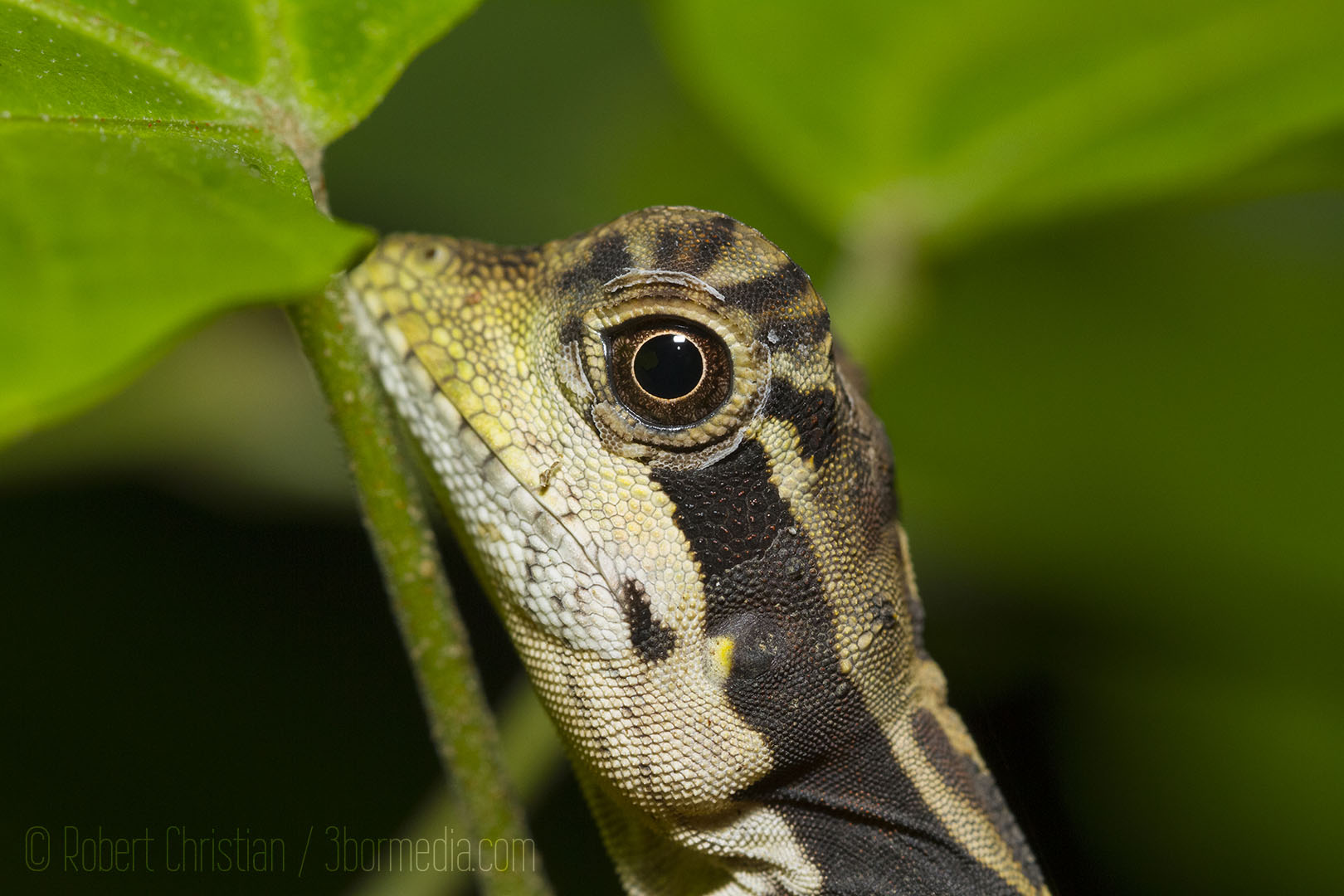 Closeup on the head of the Bornean Angle-Headed Lizard.