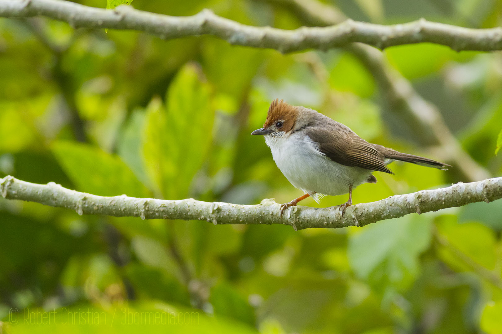 Chesnut-Crested Yuhina, another montane endemic to Borneo.