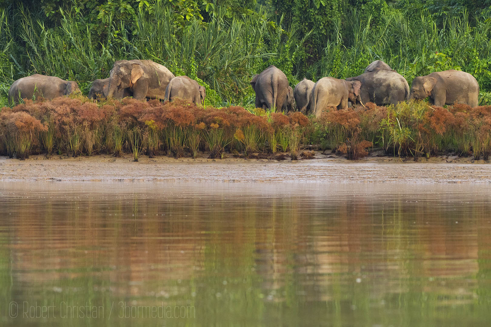 Bornean Pygmy Elephants on the banks of the Kinabatangan river.