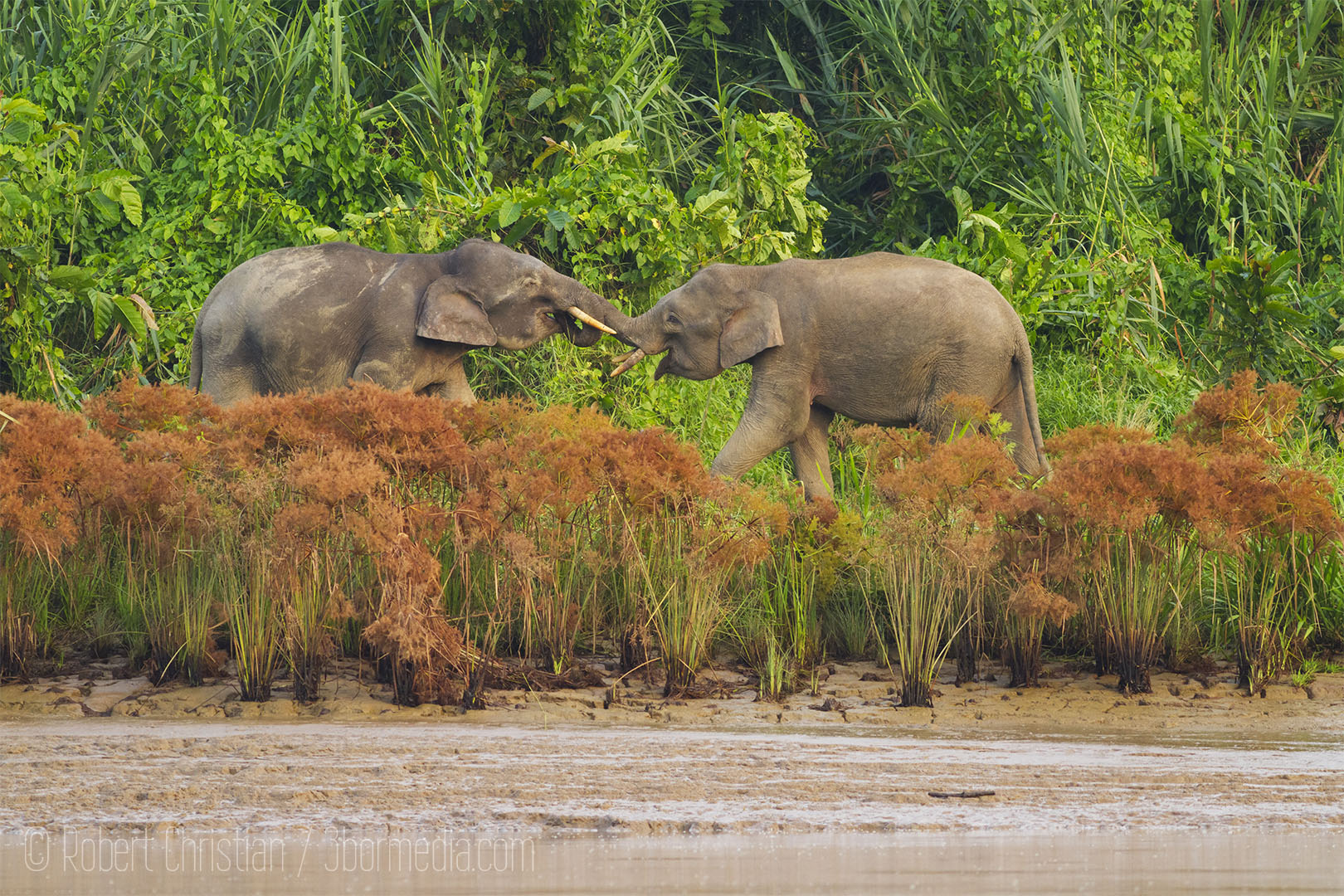 Two Elephants square off on the banks of the Kinabatangan.