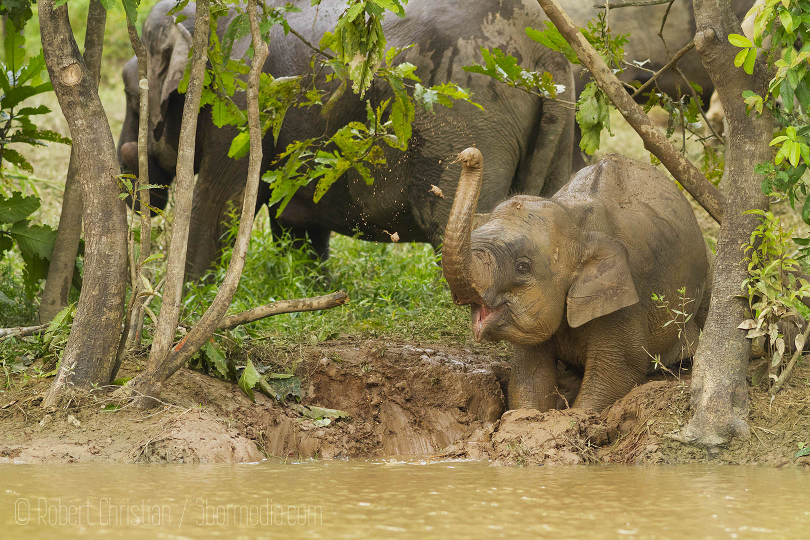 A young elephant playing in the mud on the banks of the Tenegang tributary.