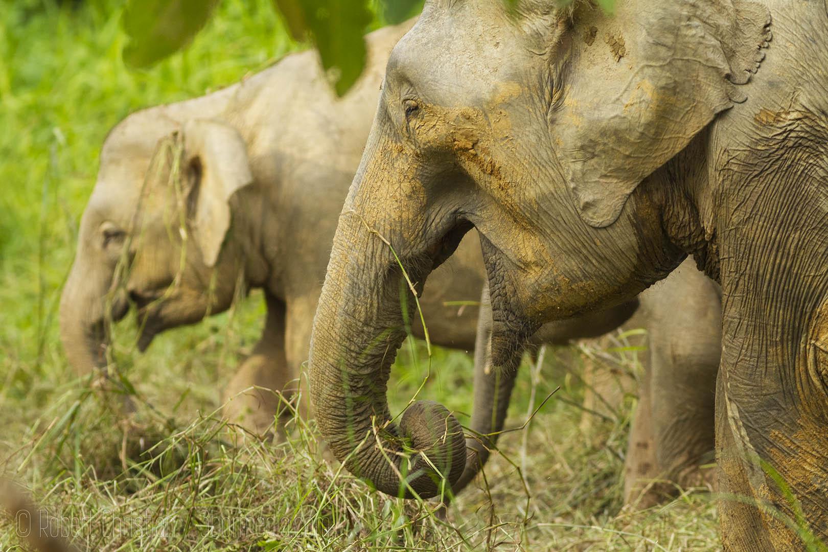 Grazing Elephants.