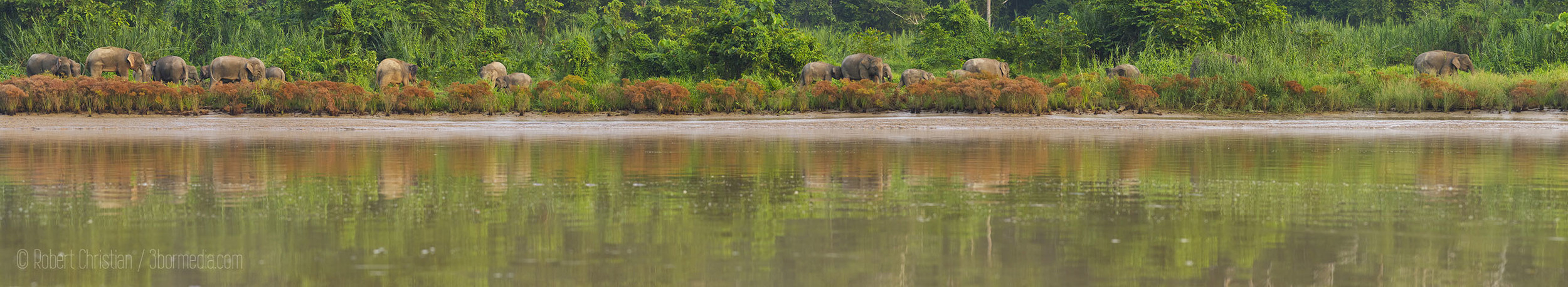 A large group of elephants on the banks of the Kinabatangan.