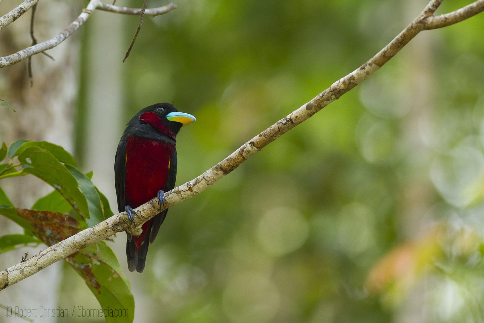 Black-and-red Broadbill