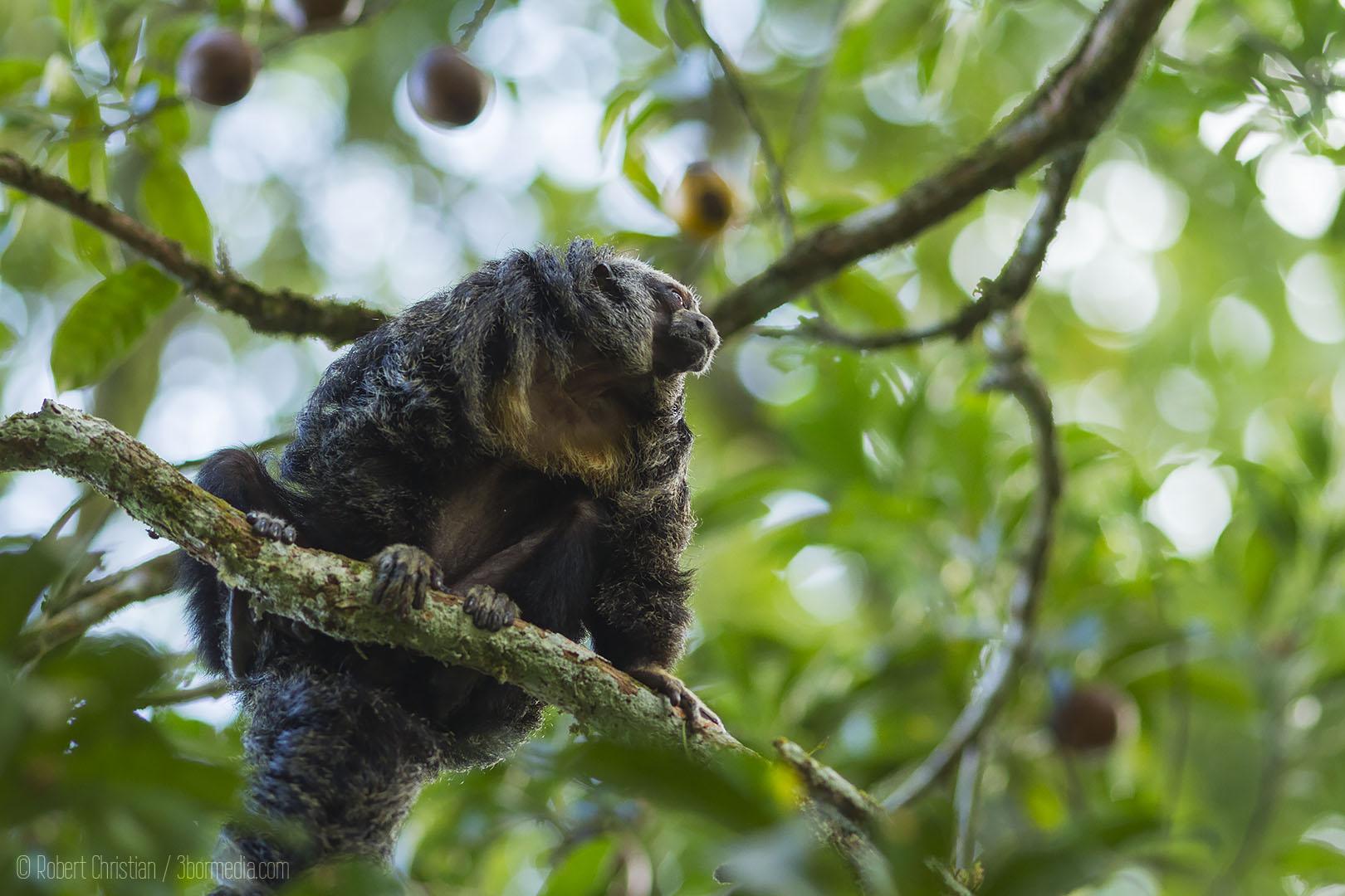 Ecuatorial Saki Monkey