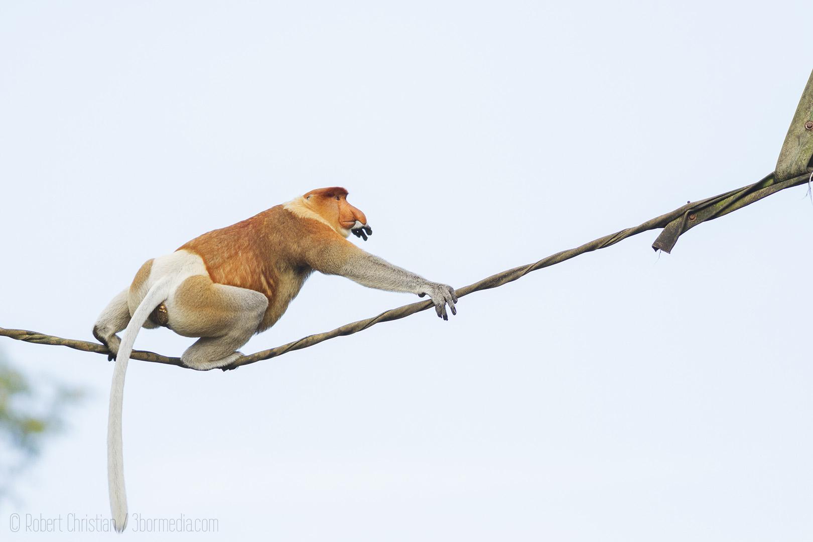 Male Proboscis Monkey crossing an Orangutan Bridge