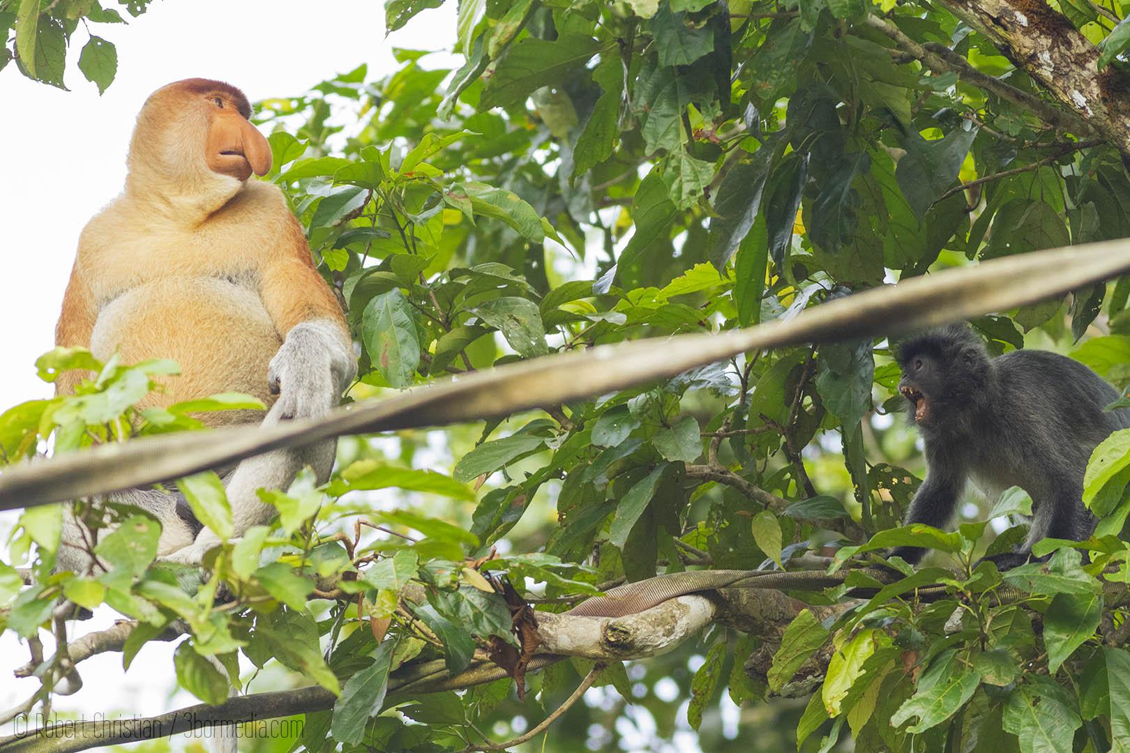 A Silver Leaf Monkey meets a large male Proboscis Monkey on an Orangutan Bridge