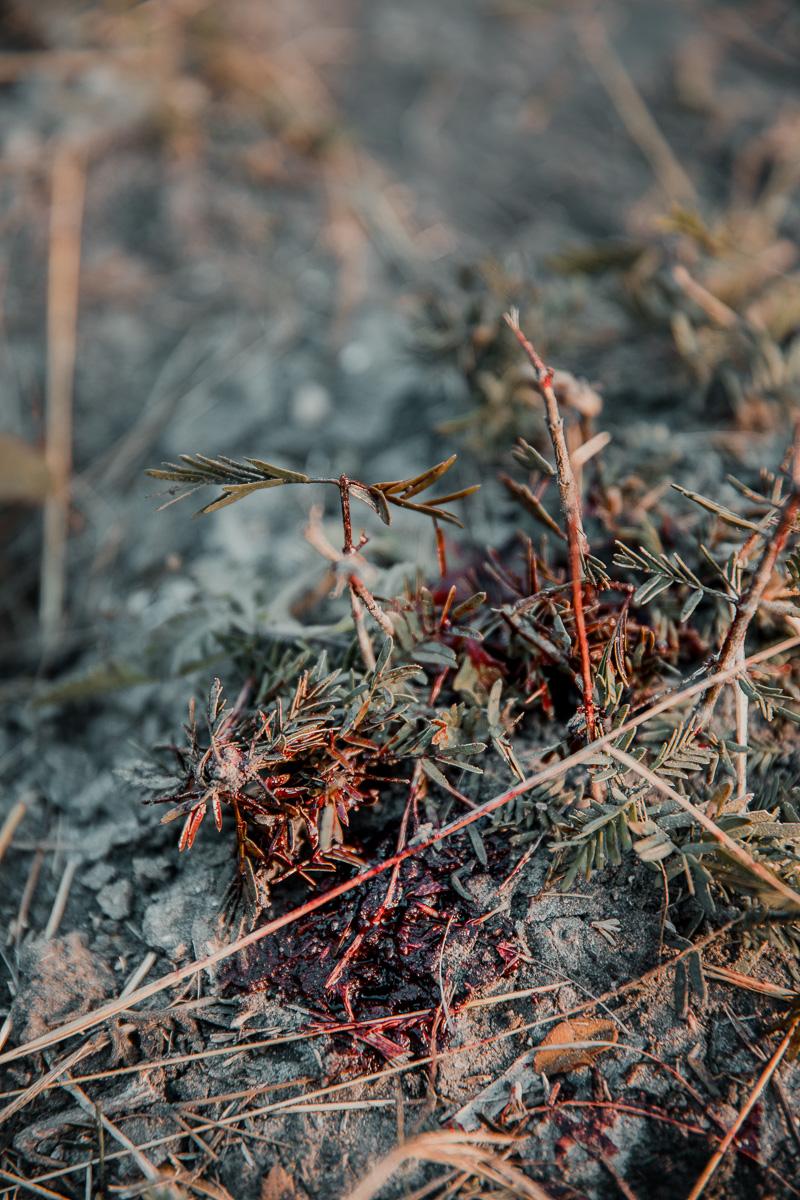 deer blood on leaves of bush