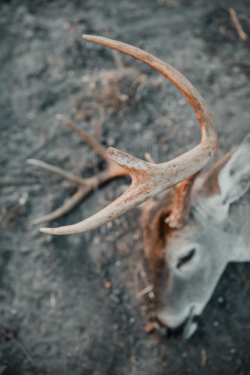 head of a dead deer laying on ground with antlers in focus
