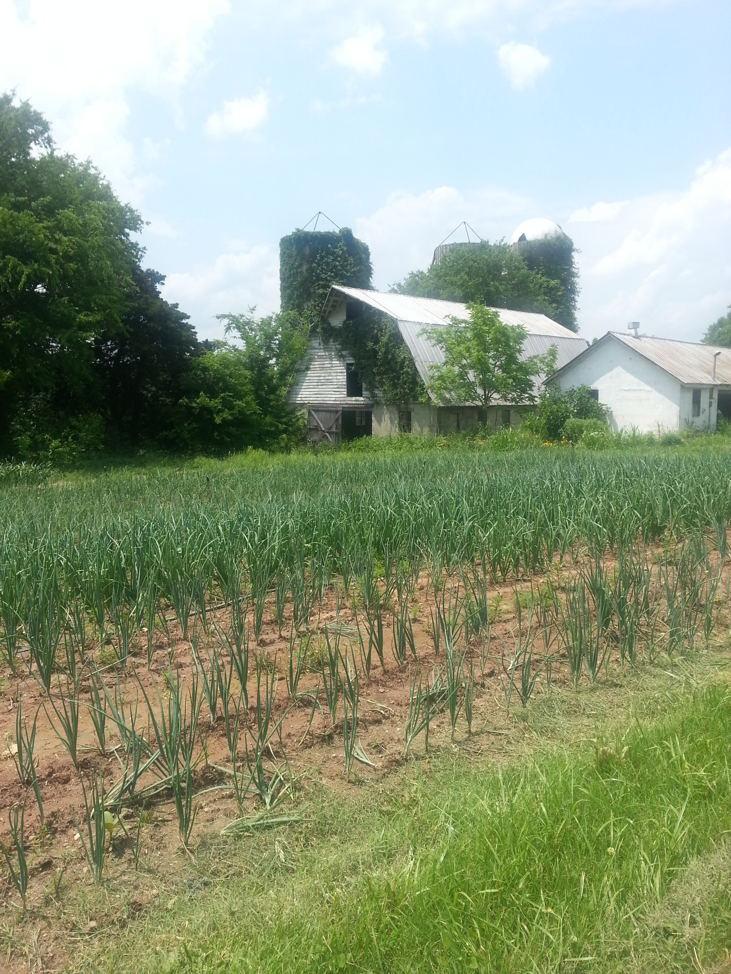 Silos and rows of onions