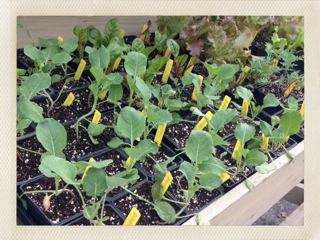 Veggie Starts from Eli's Greens