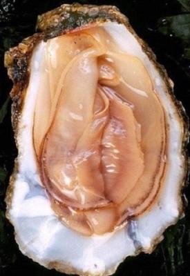 Subtle oyster
