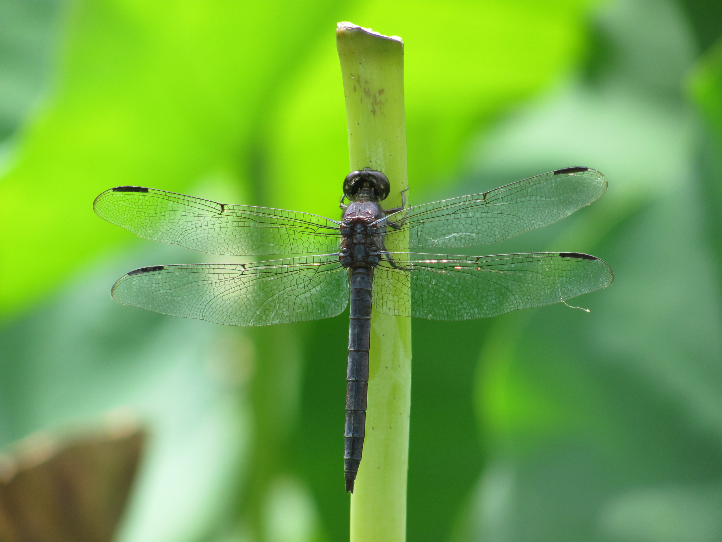 """""""Not often!"""" says this handsome dragonfly."""