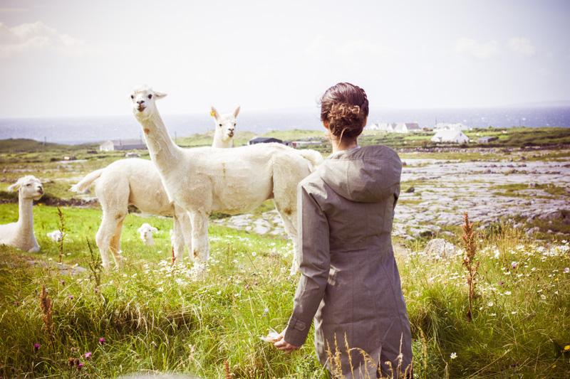 Alpacas do not like oat cakes, it would seem.