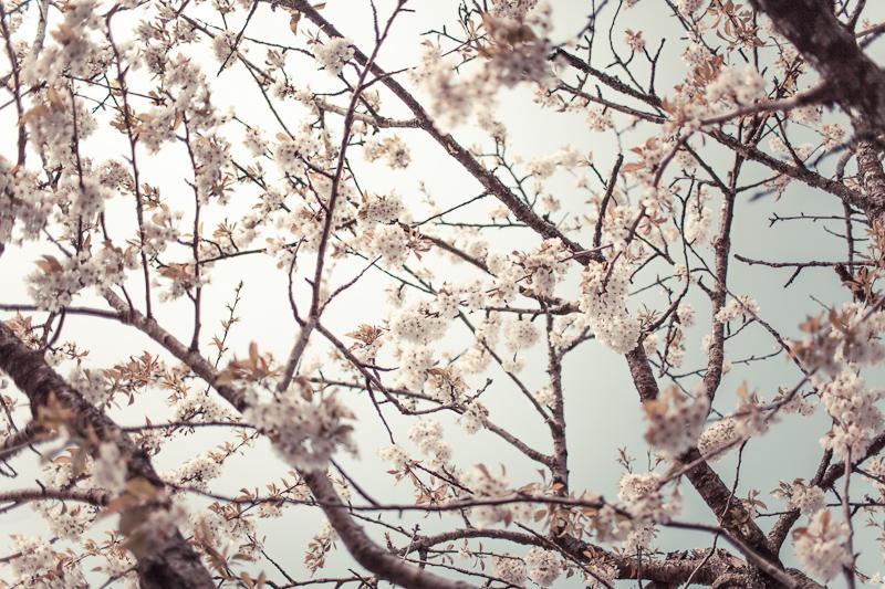 Mom's cherry tree, 2012