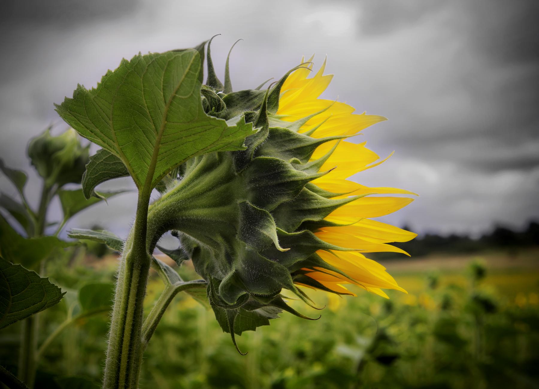 Loire River Valley, Sunflower, John Rosenthal