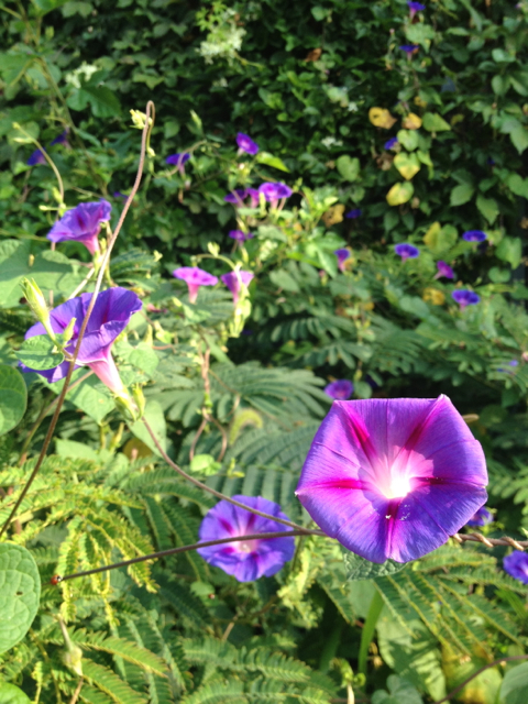 Morning Glory galore