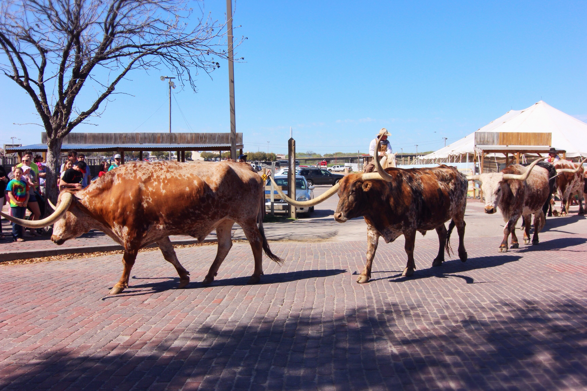 "Cattle ""run"" at the historic Stockyards in Forth Worth."