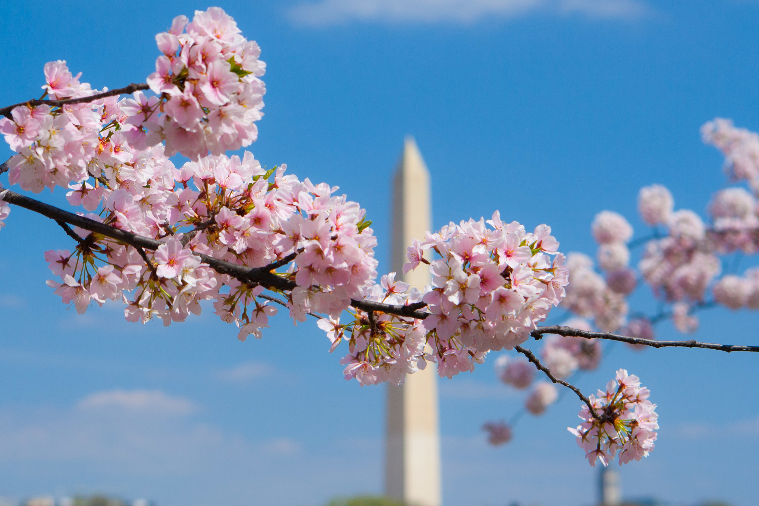Cherry Blossoms Day 3 064.jpg