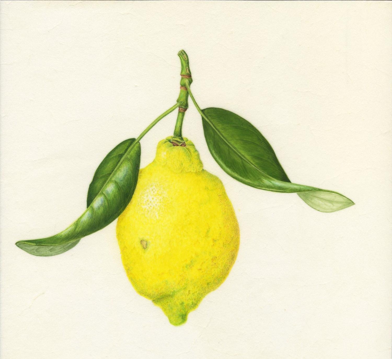 Limone di Sorrentino - on vellum