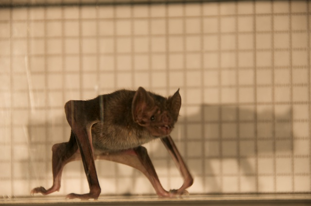 Vampire Bat on Treadmill.jpg