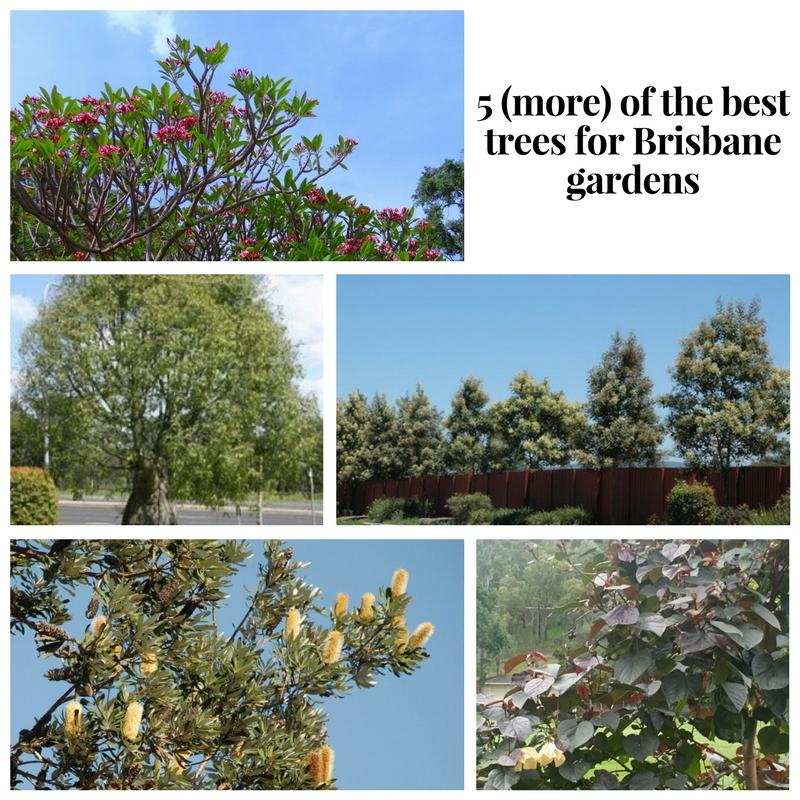 5 (more) of the best trees for brisbane.jpg
