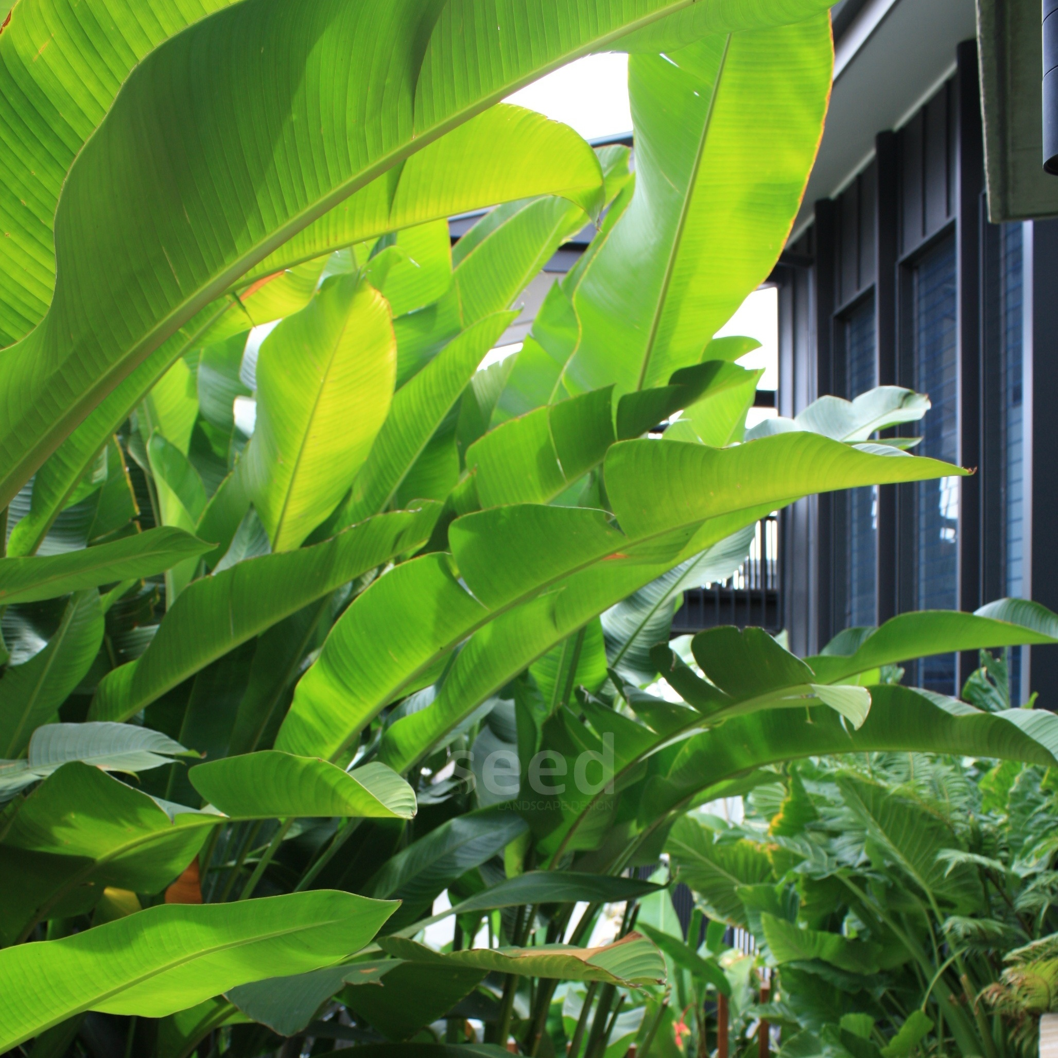 Tall clusters of broad leaf plants create privacy from the neighbours in high density living while also keeping the property cool in the summer heat