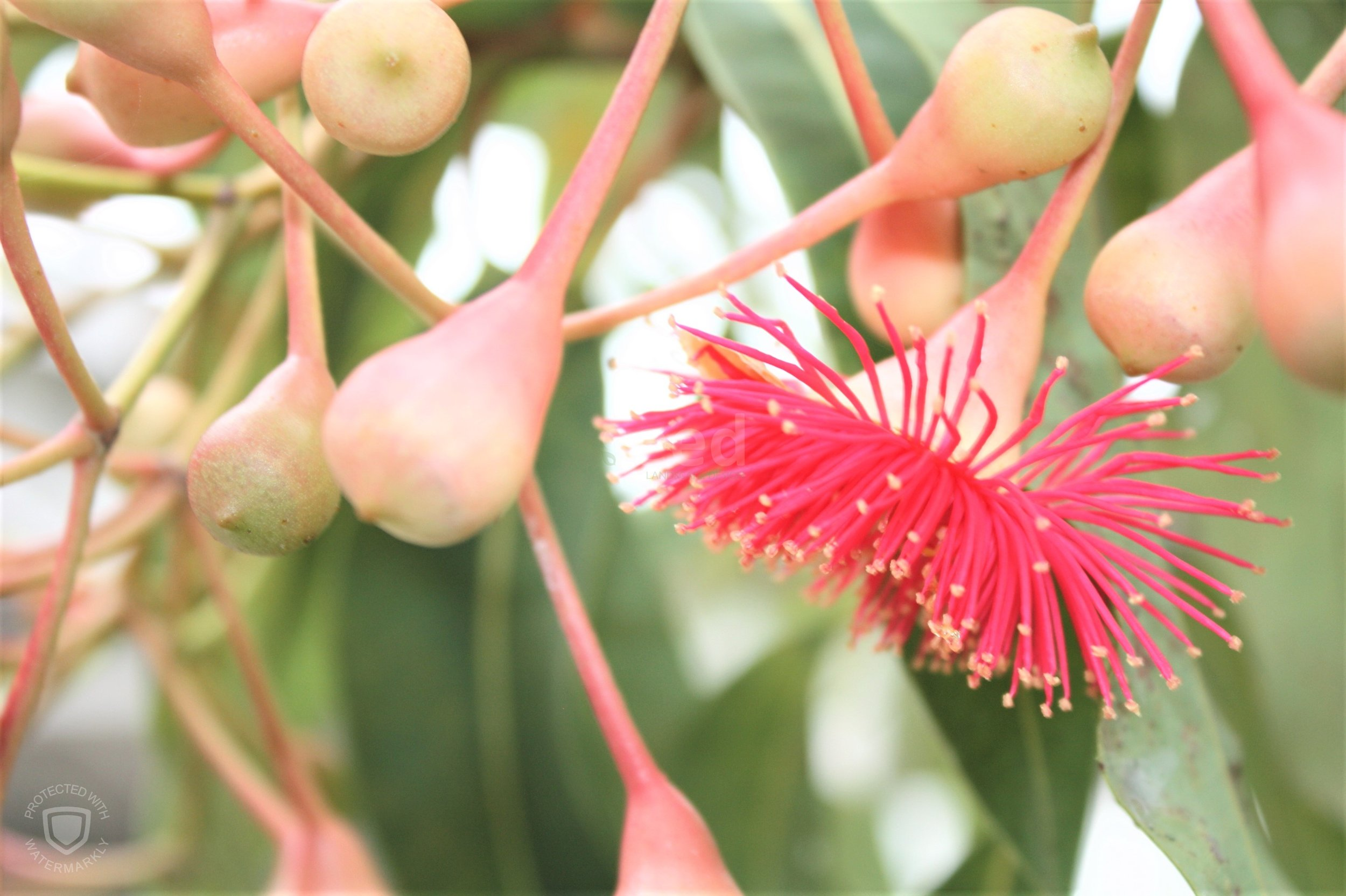 Eucalyptus Summer Beauty presents a stunning display at the front gate. Talk about 1st impressions!