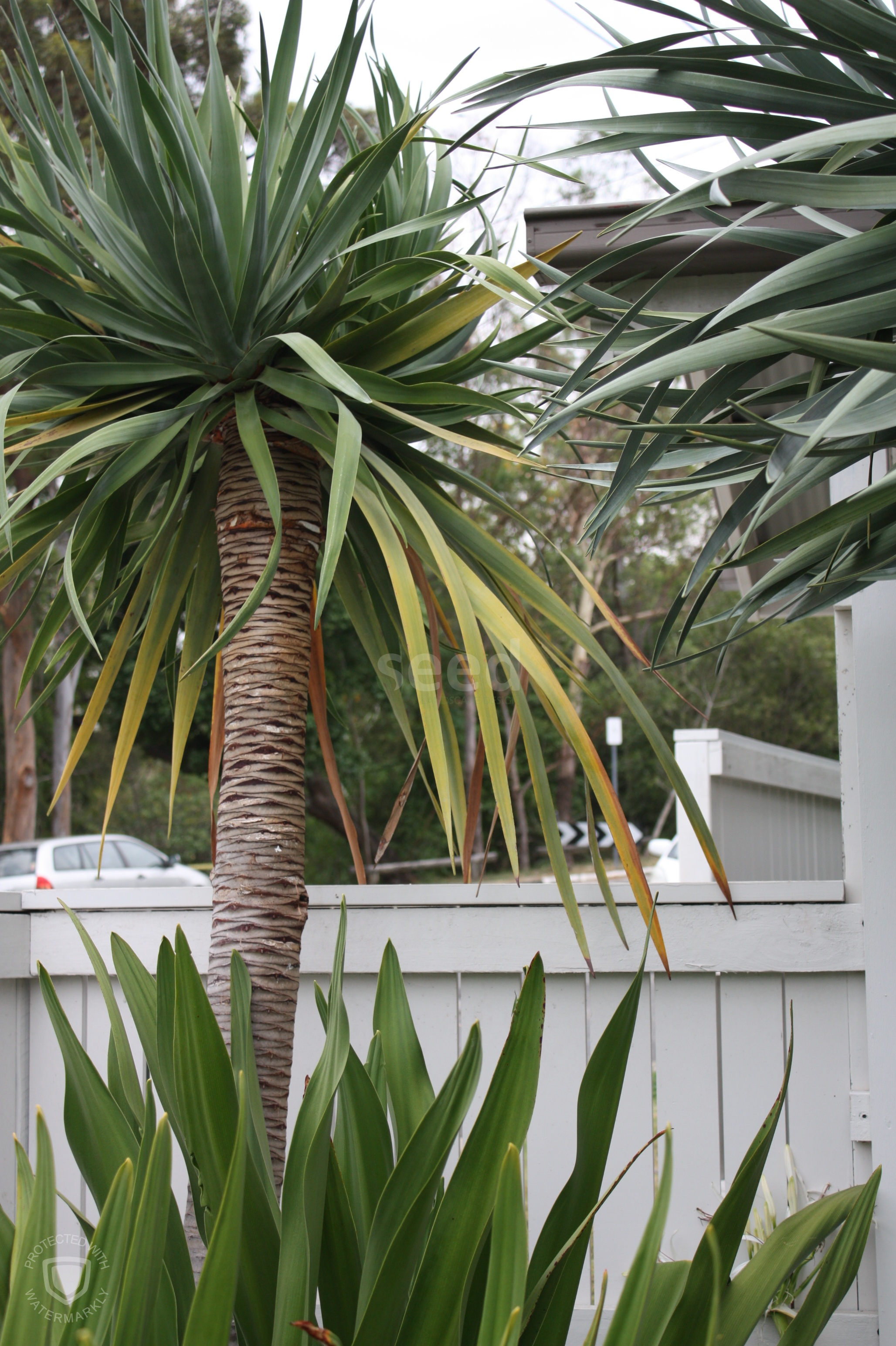 Dragon Trees contrast beautifully against the white picket fence providing an architectural, formal line, in keeping with the design aesthetic.