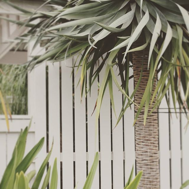 Simple colours with dragon tree #seedlandscapedesign #brisbanelandscapedesign
