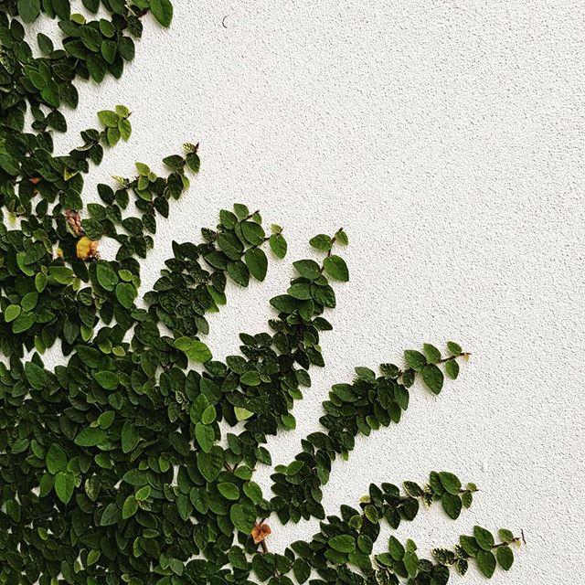 No trellis needed for the climbing fig #seedlandscapedesign #brisbanelandscapedesign #greenwalls