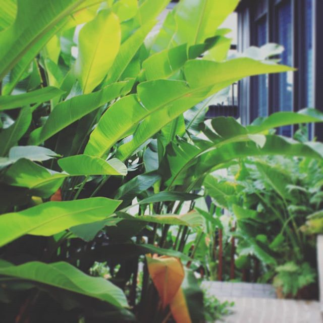 Subtropical plants as screen #seedlandscapedesign  #brisbaneplantchouces #newfarmdesign