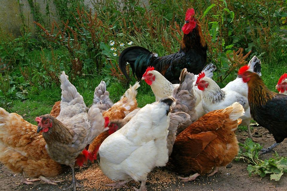 chickens-874507_960_720.jpg