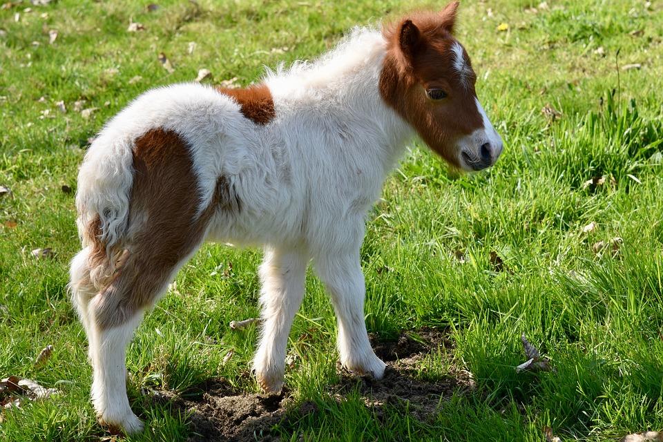 shetland-pony-4090113_960_720.jpg