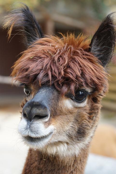 alpaca-984891_960_720.jpg