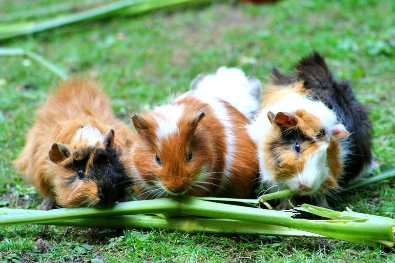 guinea-pig-208438_960_720.jpg