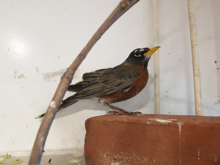 Here's a robin just about ready to be released.